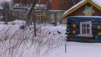 Наблюдение за голубями в деревне Золушкино